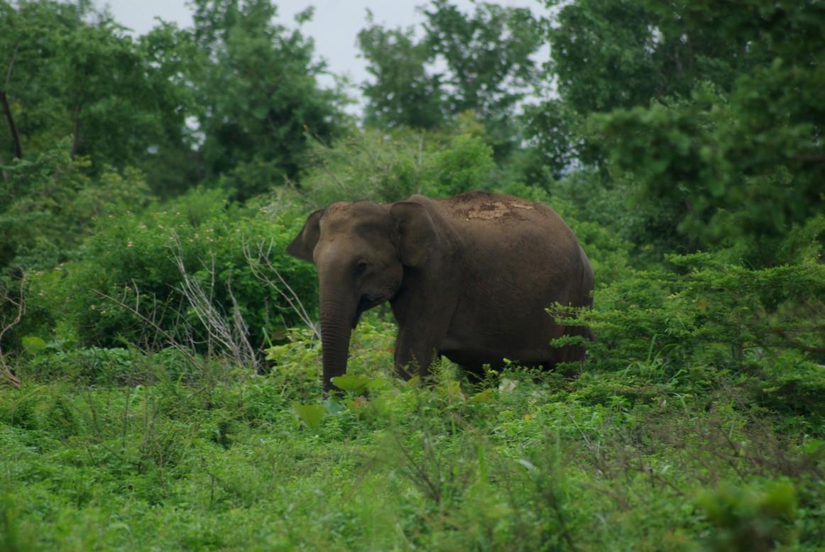 Samotny słoń, Park Narodowy Udawalawe, Sri Lanka