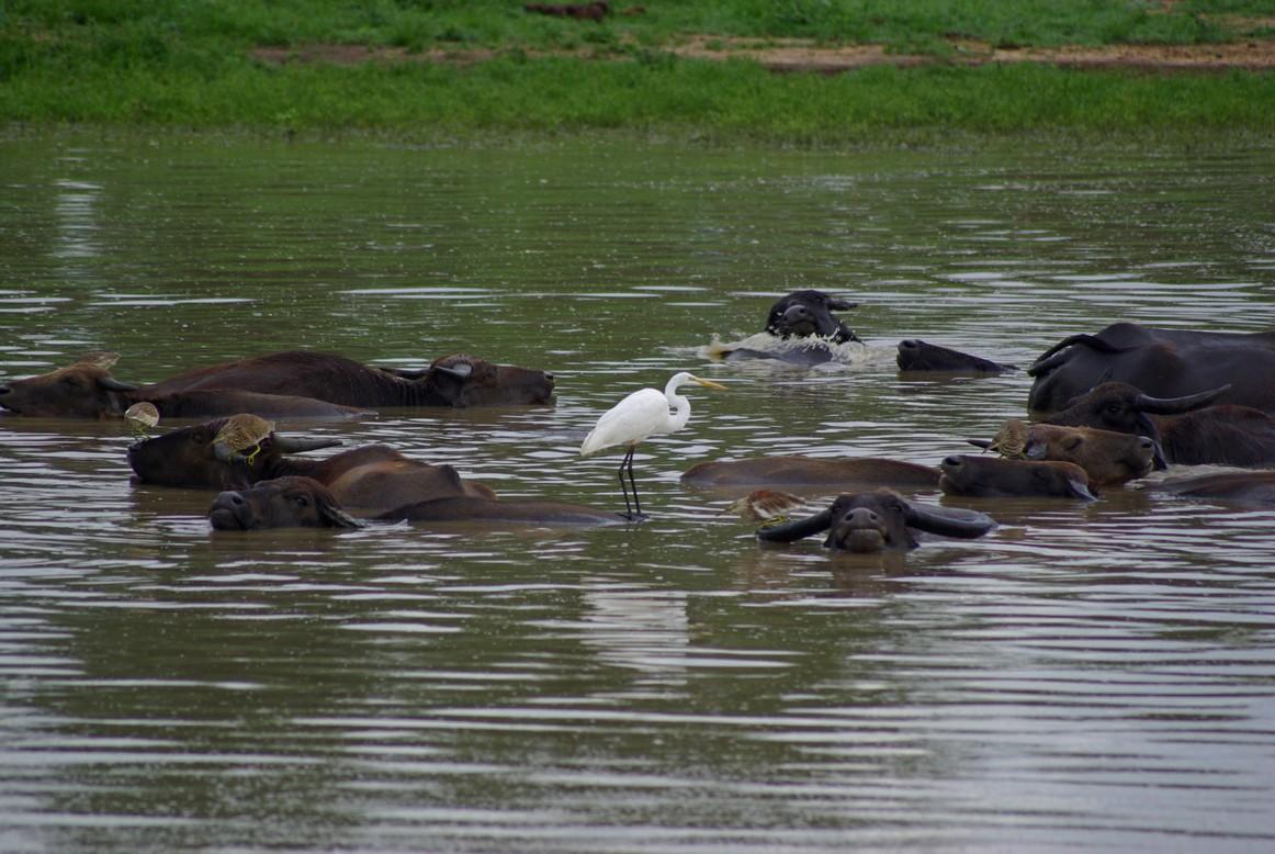 Symbioza, Park Narodowy Udawalawe, Sri Lanka