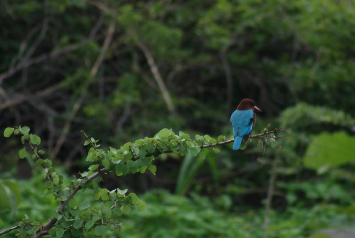 Kingfisher, Park Narodowy Udawalawe, Sri Lanka