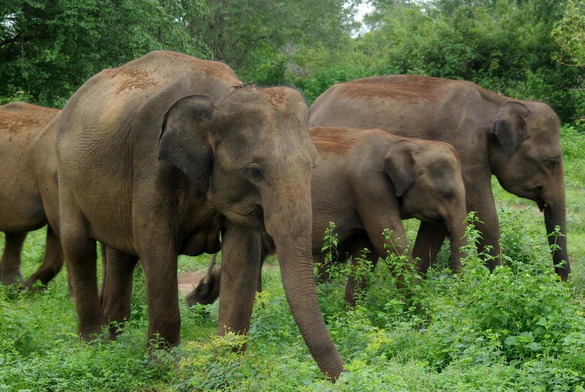 Rodzinka słoni, Park Narodowy Udawalawe, Sri Lanka
