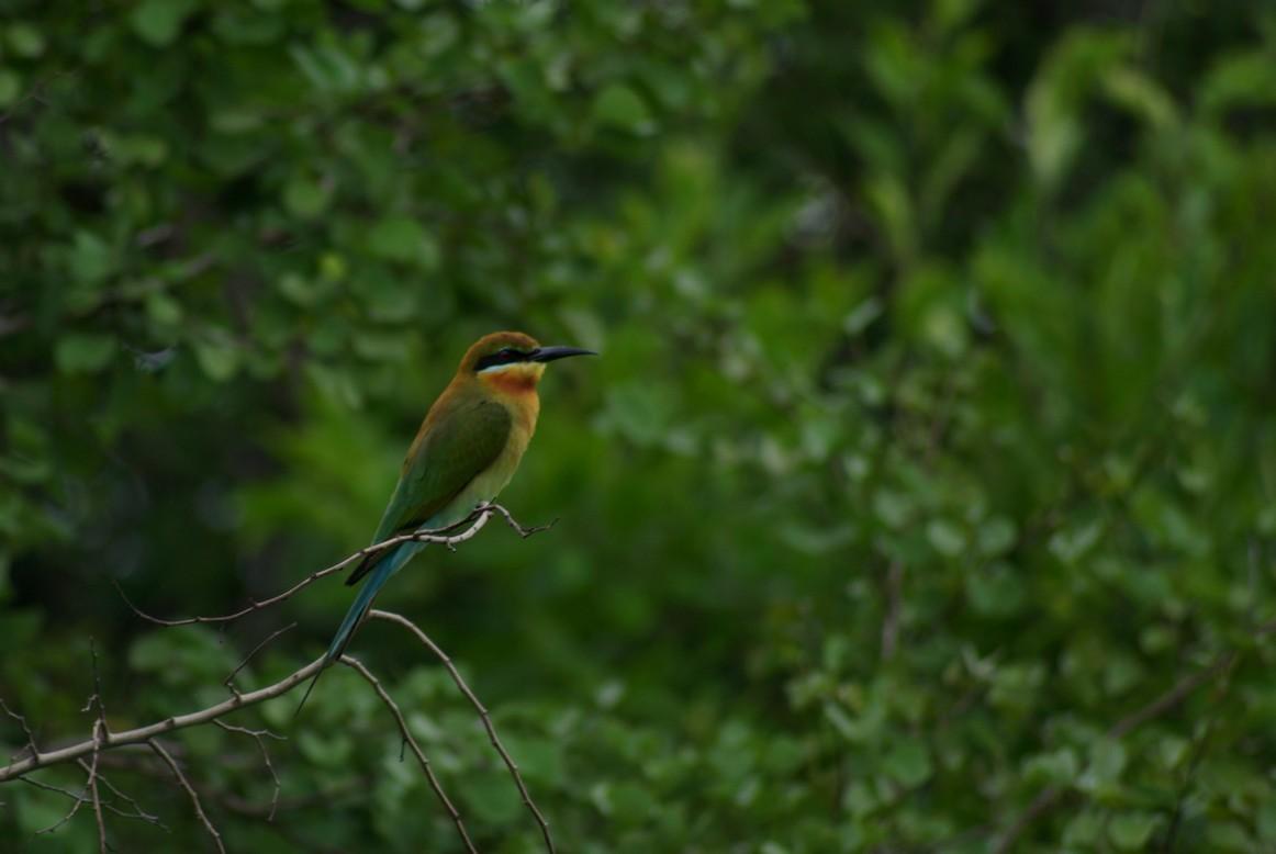 Pszczołojad, Park Narodowy Udawalawe, Sri Lanka