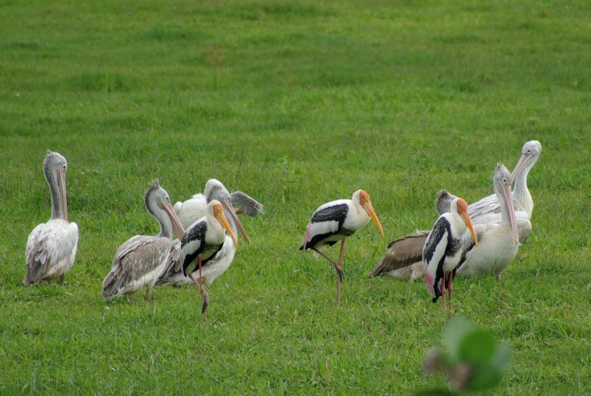 Pelikany i Dławigady indyjskie, Park Narodowy Udawalawe, Sri Lanka