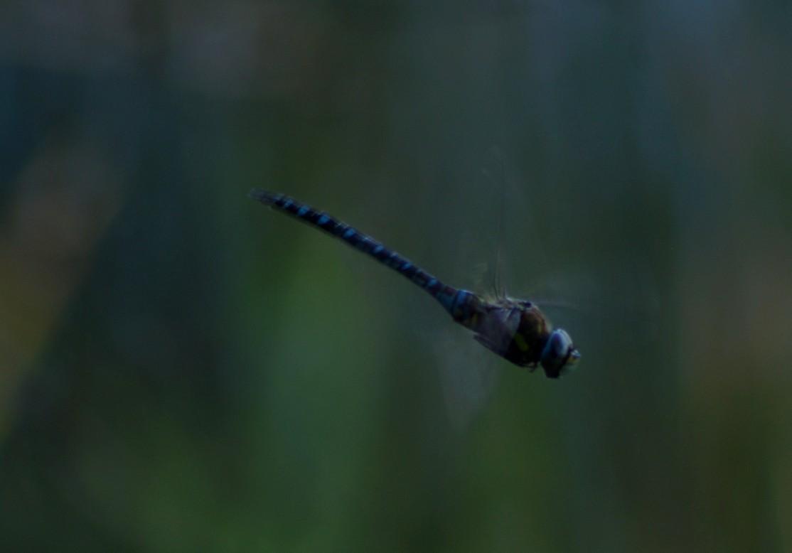 Ważka, Przemęcki Park Krajobrazowy