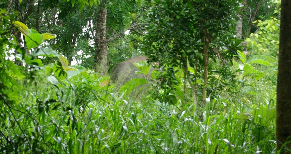 Słoń znika w dżungli Sri Lanki