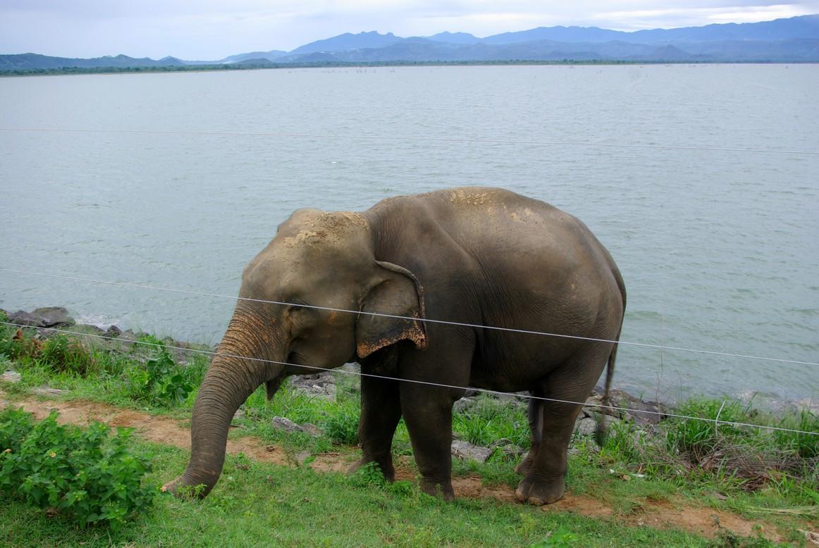Słoń za ogrodzeniem parku Udawalawe, Sri Lanka