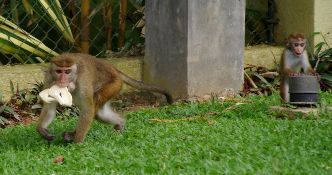Małpy, Sri Lanka