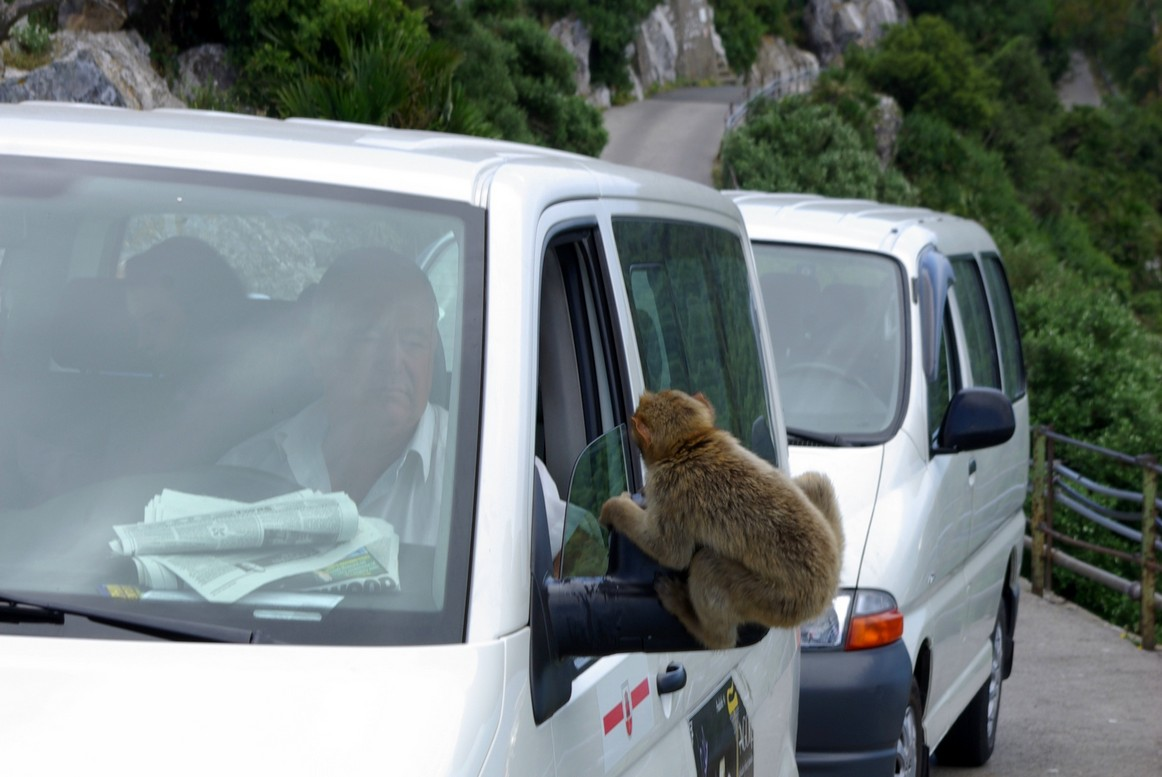 Małpy, Gibraltar