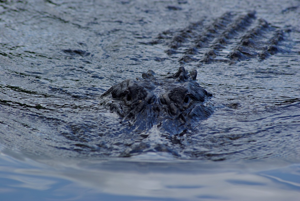 Krokodyl, Park Narodowy Everglades, FL, USA