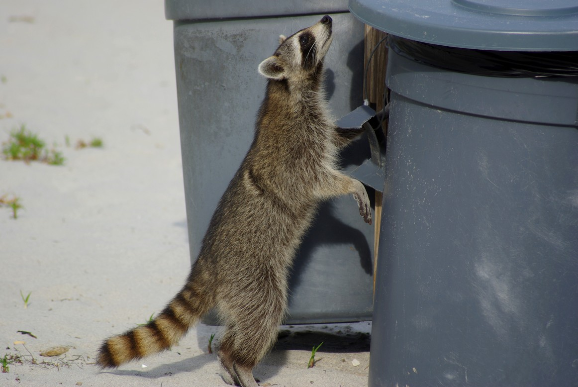 Szop pracz przeszukuje śmietnik, Miamia, FL, USA